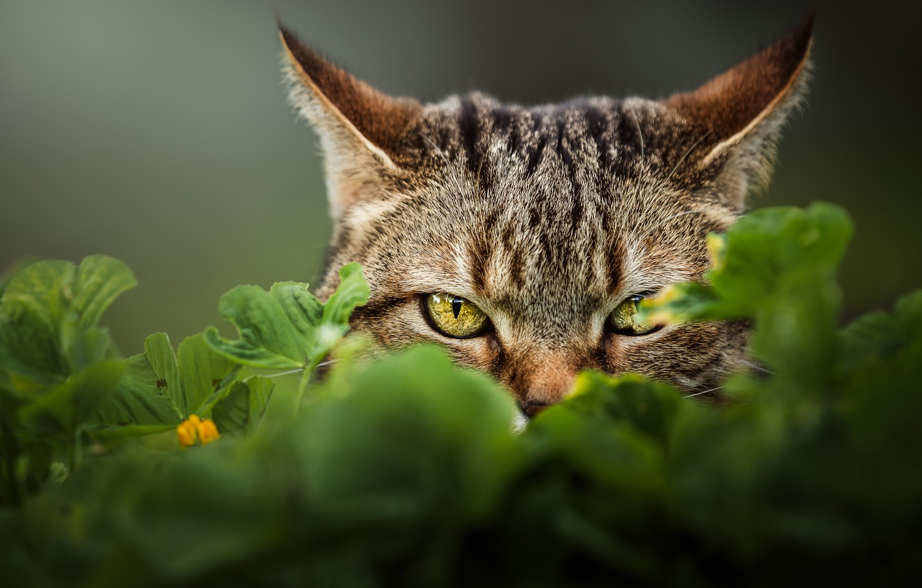 Photo wallpaper cat, eyes, cat, look, background, face