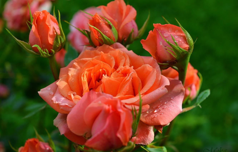Photo wallpaper Buds, Roses, Roses, Orange roses, Orange roses