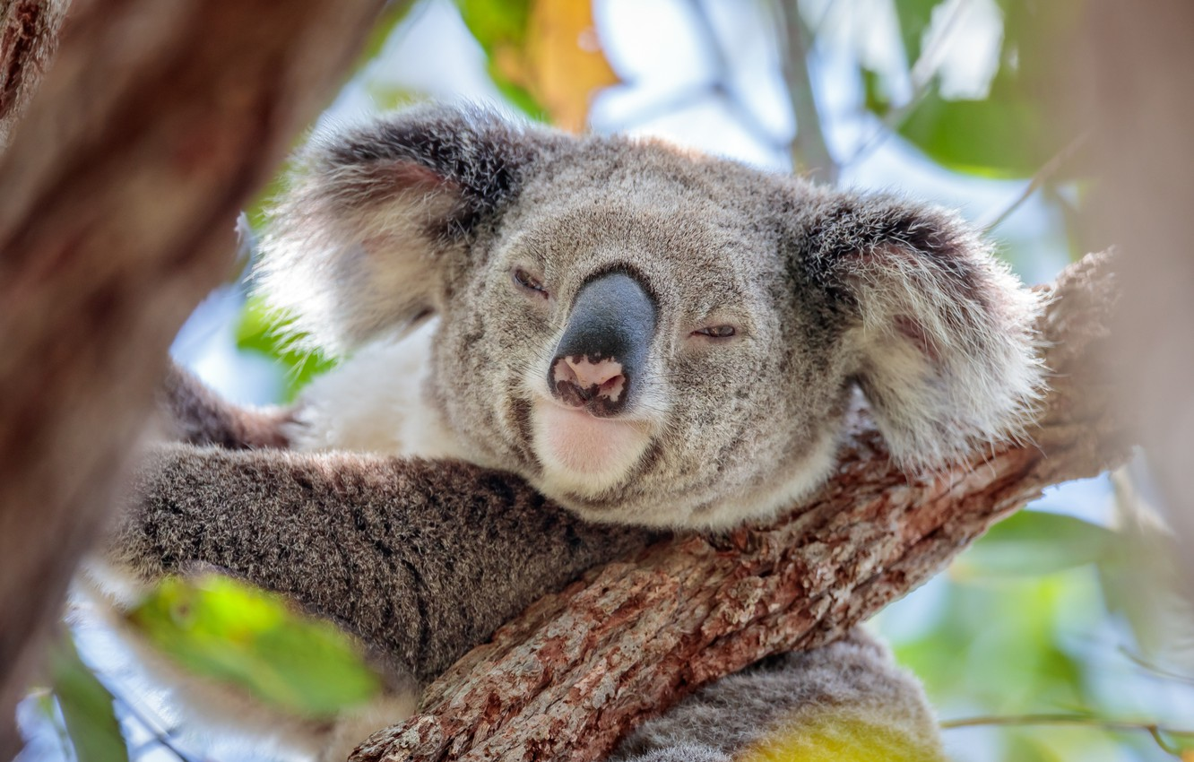 Photo wallpaper face, on the tree, Koala