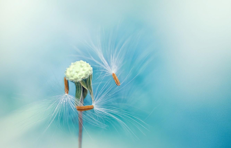 Photo wallpaper dandelion, feathers, seeds, stem, blue background