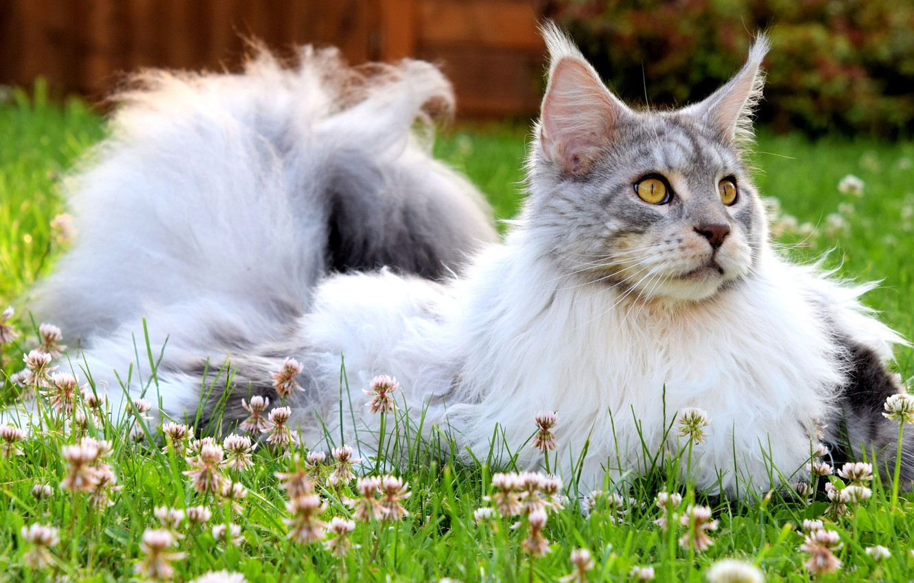 Photo wallpaper greens, cat, summer, grass, cat, look, face, flowers, nature, grey, background, glade, portrait, wool, fluffy, …