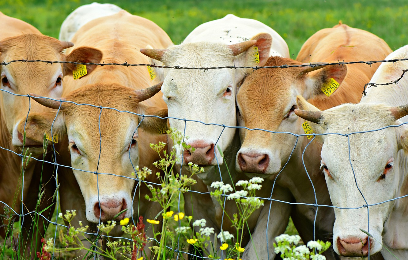 Photo wallpaper summer, look, flowers, mesh, the fence, portrait, cow, group, cows, pasture, the fence, company, a …