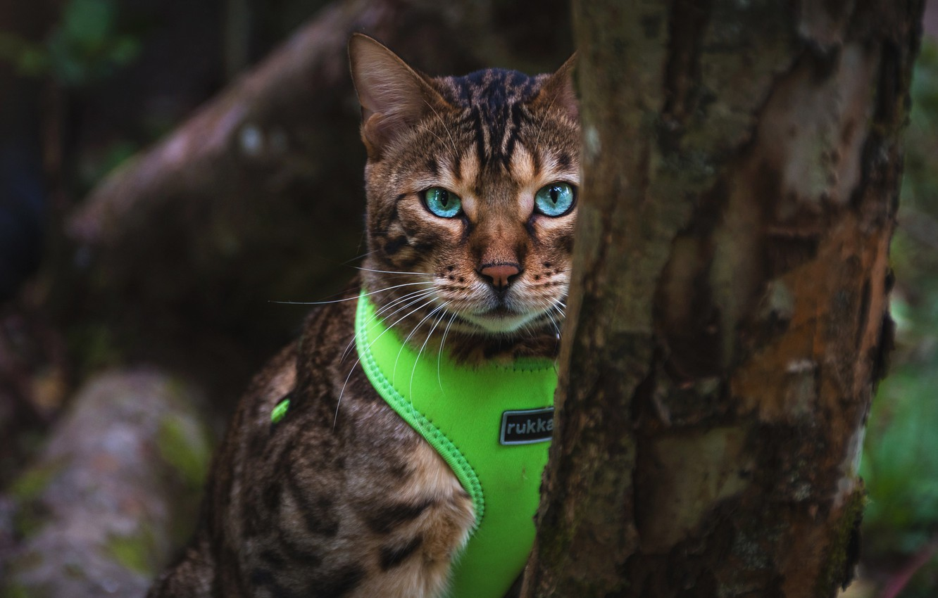 Photo wallpaper cat, cat, look, nature, the dark background, tree, portrait, costume, bark, blue eyes