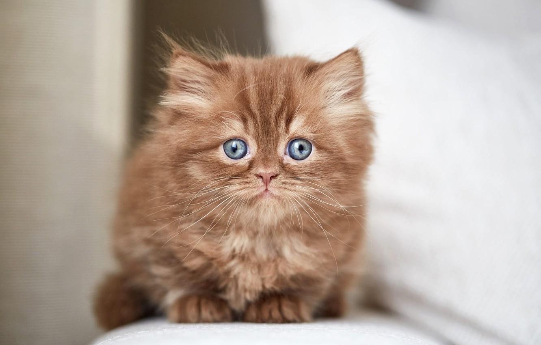 Photo wallpaper cat, look, kitty, portrait, muzzle, kitty, sitting, light background, British, chocolate, blue-eyed