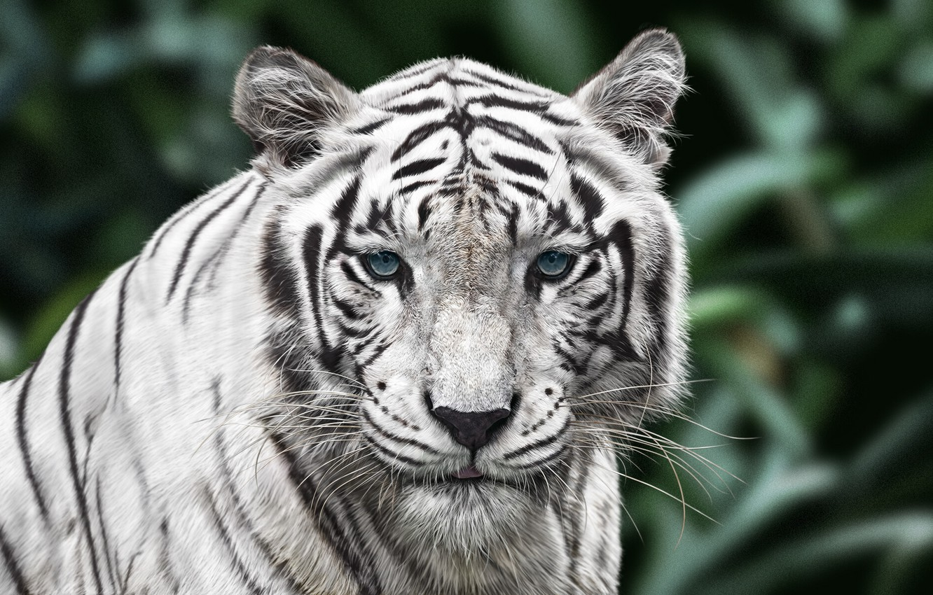 Photo wallpaper Tiger, Cat, Eyes, Face, Art, Tiger, Animal, White Tiger, White Tiger, Mustachioed, Woo Dii, by …