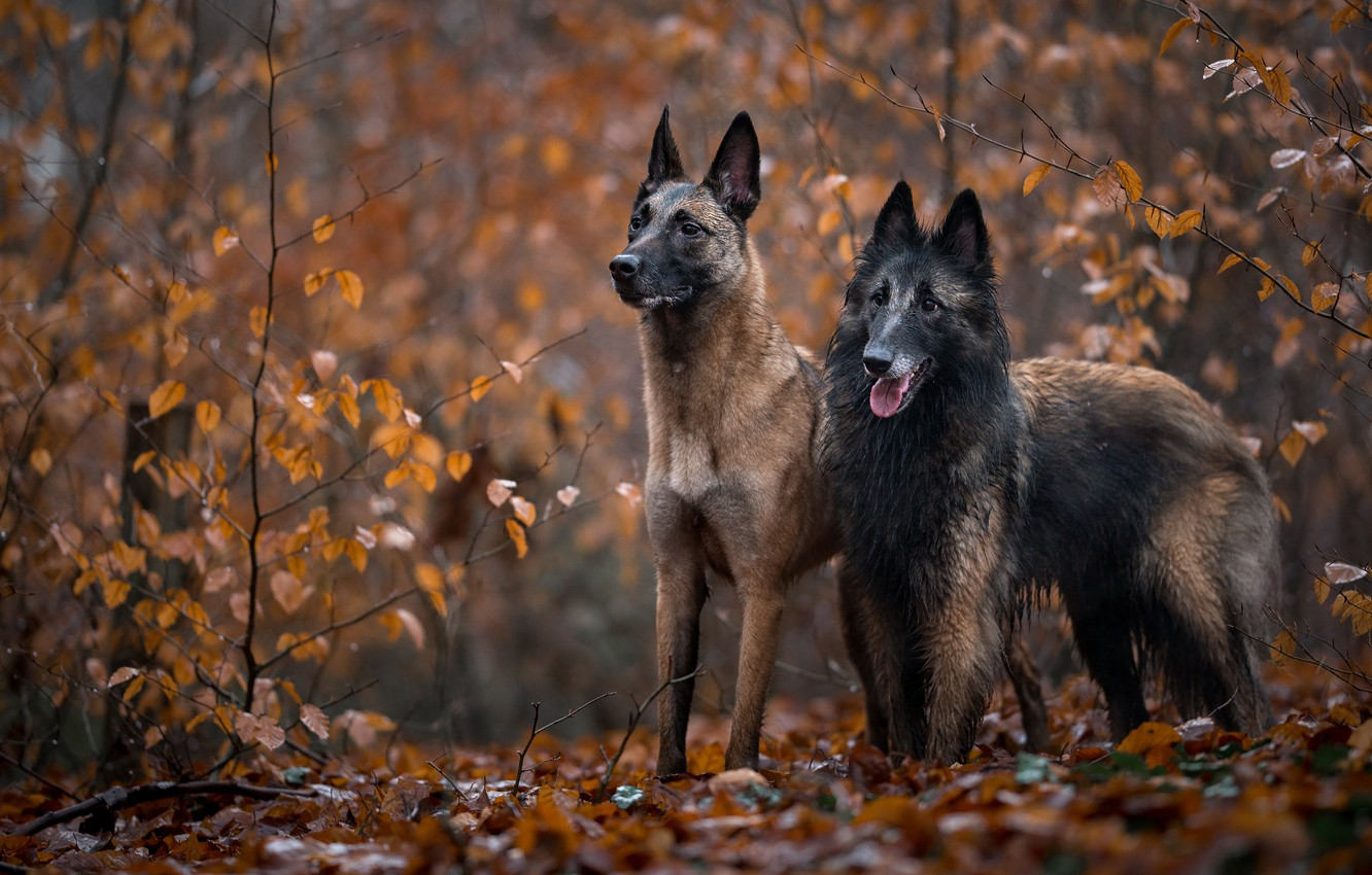 Photo wallpaper autumn, forest, dogs, branches, foliage, two, pair, a couple, friends, two dogs, autumn leaves