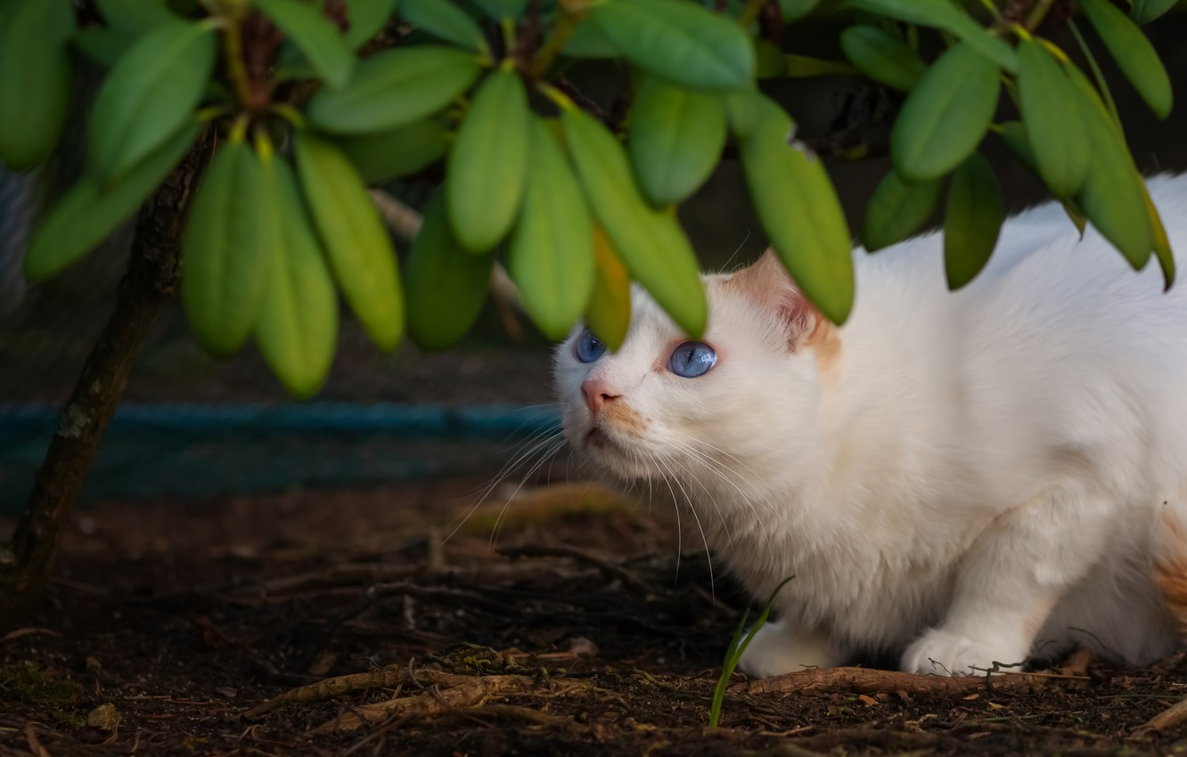 Photo wallpaper cat, white, cat, look, leaves, branches, pose, white, blue eyes, looking up