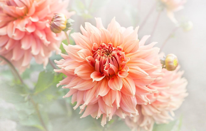 Photo wallpaper summer, macro, petals, garden, orange, light background, dahlias, lush