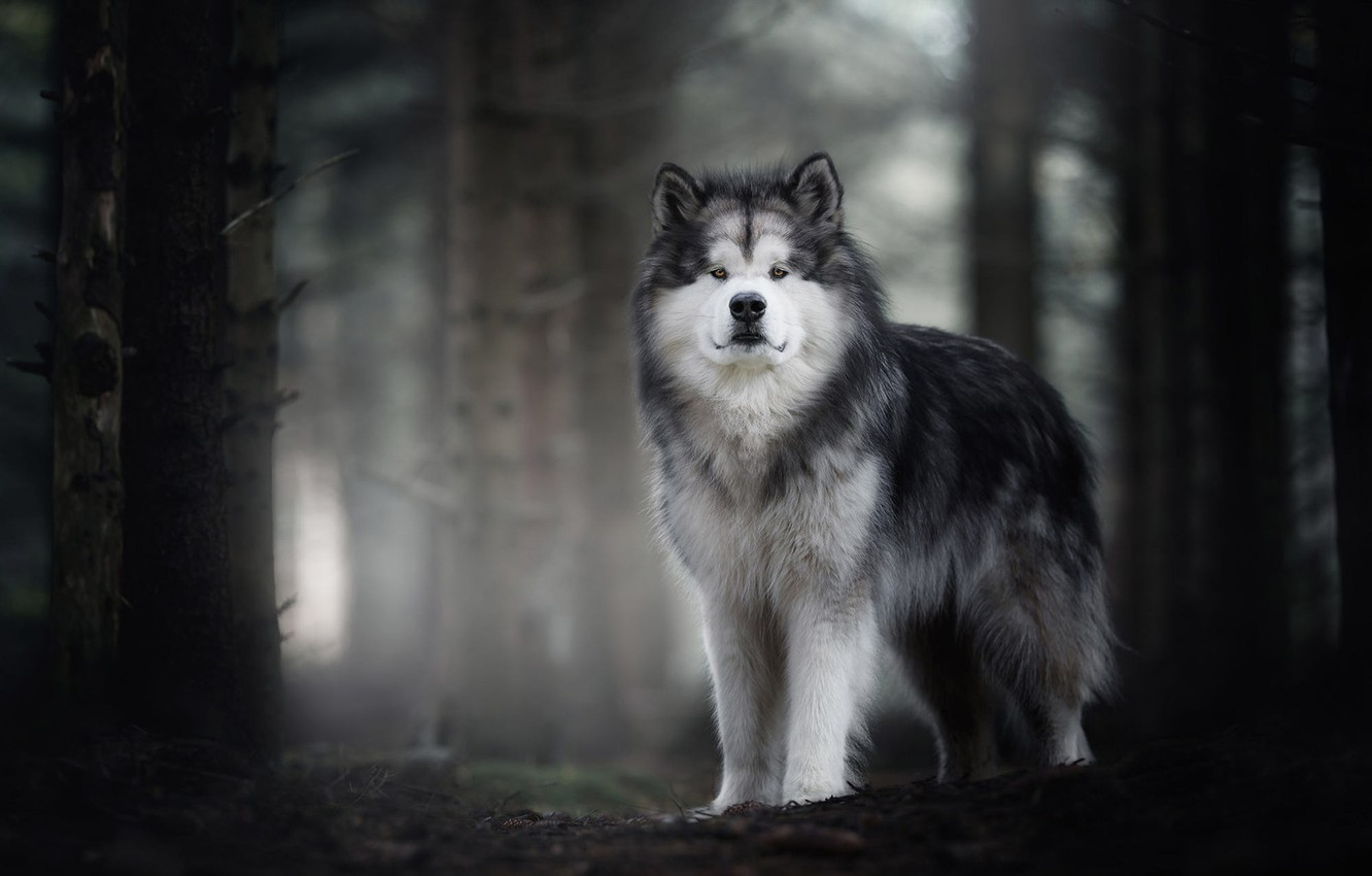 Photo wallpaper autumn, forest, look, face, trees, nature, fog, background, trunks, dog, wool, grey, handsome, dog, Malamute, ...