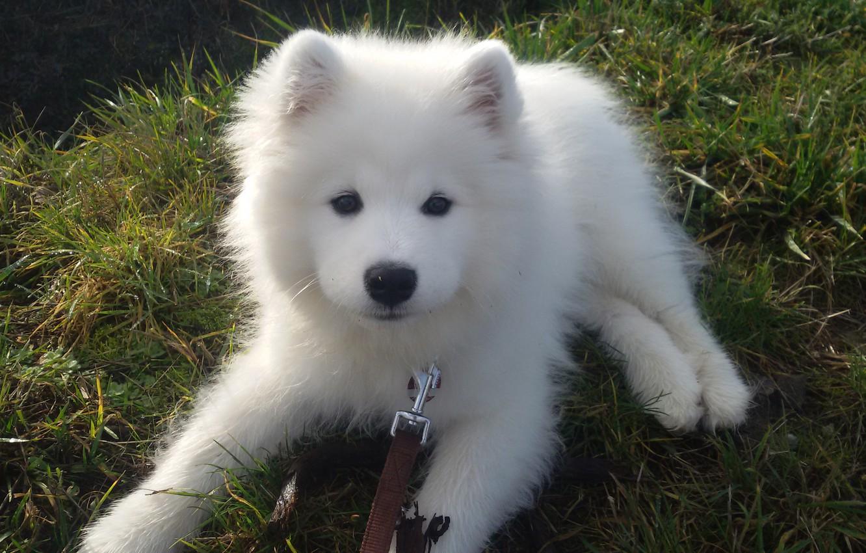 Photo wallpaper white, dog, puppy, the Samoyed