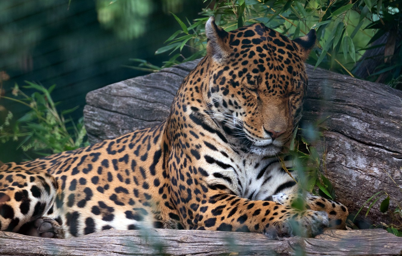 Photo wallpaper face, leaves, branches, pose, stay, sleep, paws, sleeping, lies, Jaguar, log, closed eyes
