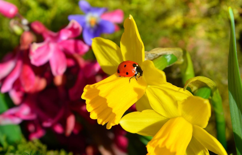 Photo wallpaper ladybug, Macro, Macro, Daffodils, Narcissus