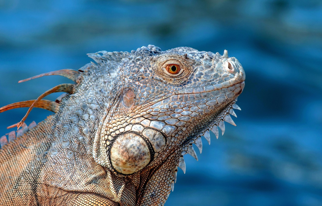 Photo wallpaper background, portrait, lizard, iguana