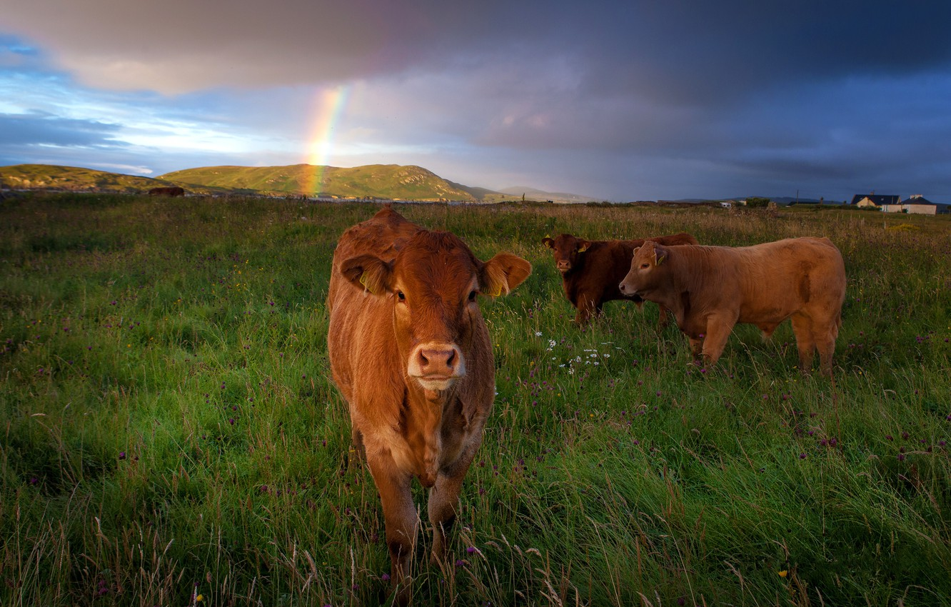 Photo wallpaper field, summer, the sky, grass, look, clouds, landscape, nature, hills, rainbow, cows, pasture, meadow, red, …