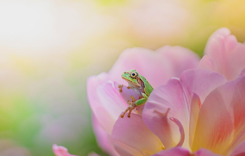 Photo wallpaper flower, macro, background, pink, Tulip, frog, bokeh