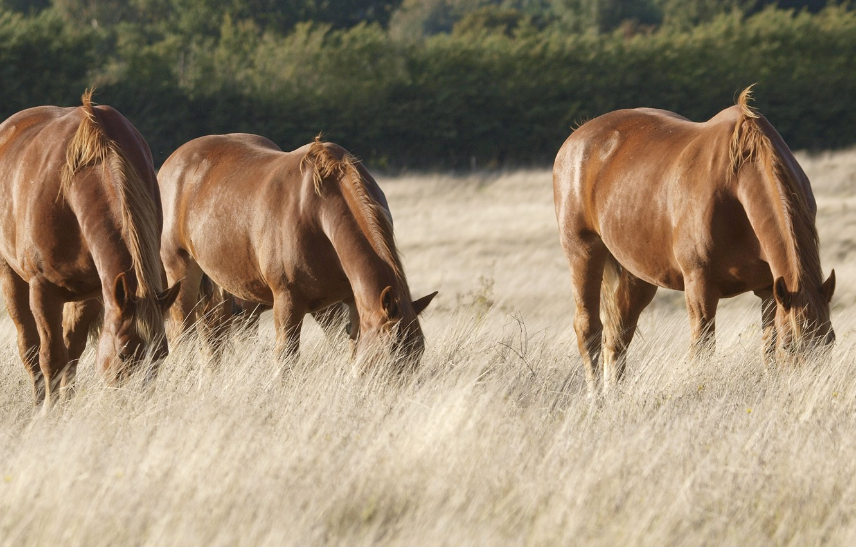Photo wallpaper field, horses, pasture