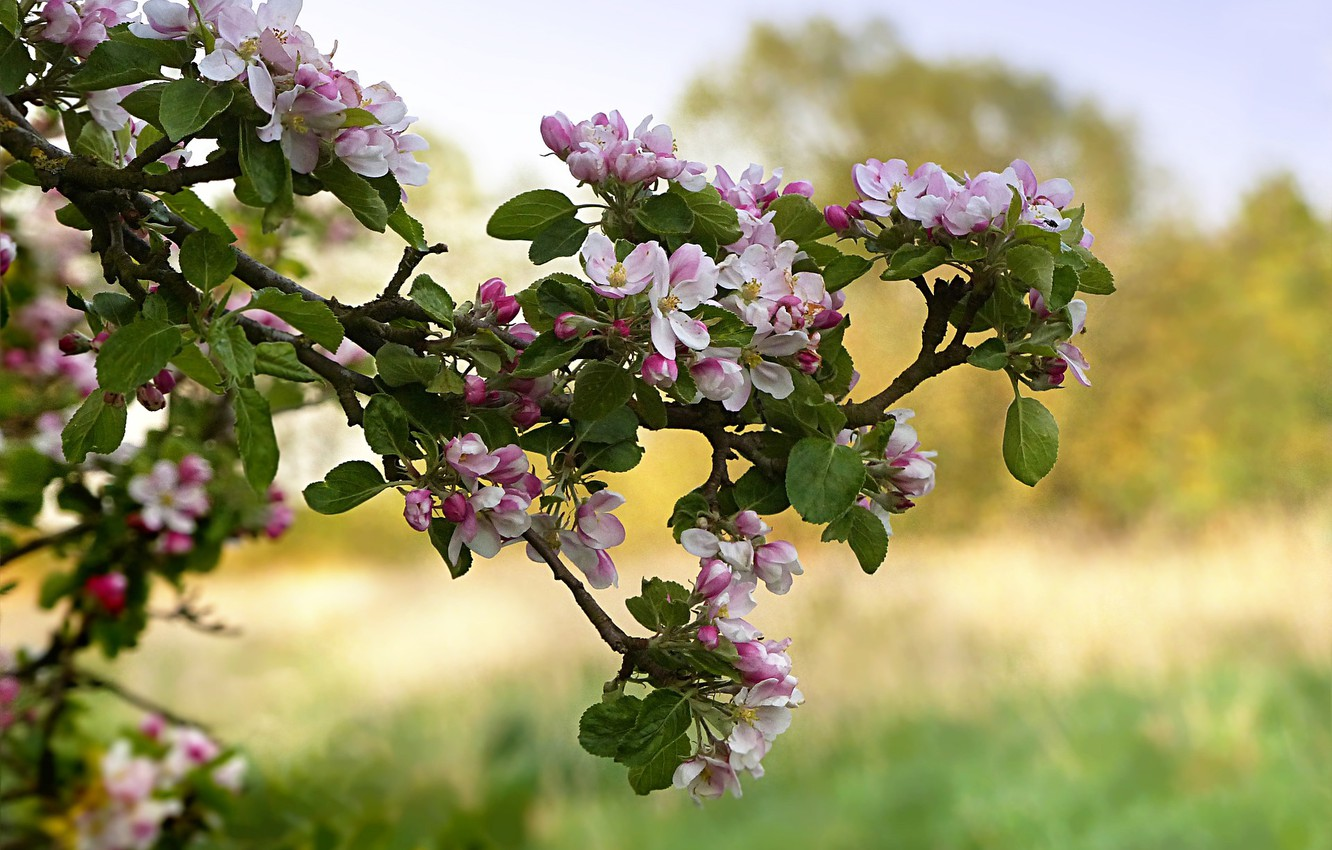 Photo wallpaper nature, branch, spring, Apple, flowering