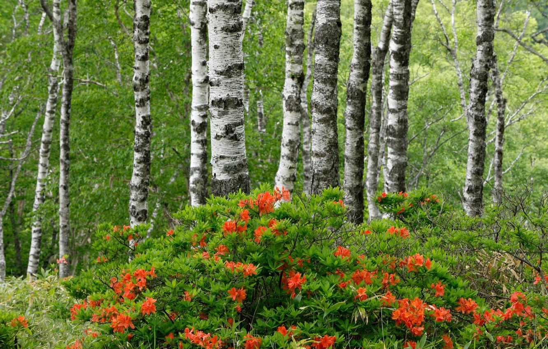 Photo wallpaper forest, summer, trees, birch, flowering, the bushes, Azalea