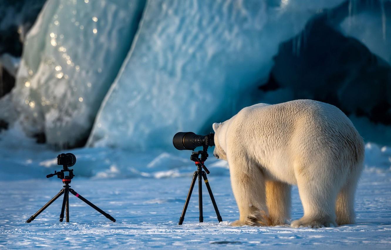 Photo wallpaper winter, white, photography, ice, glacier, bear, bear, the camera, photographer, lens, ice, is, polar bear, …