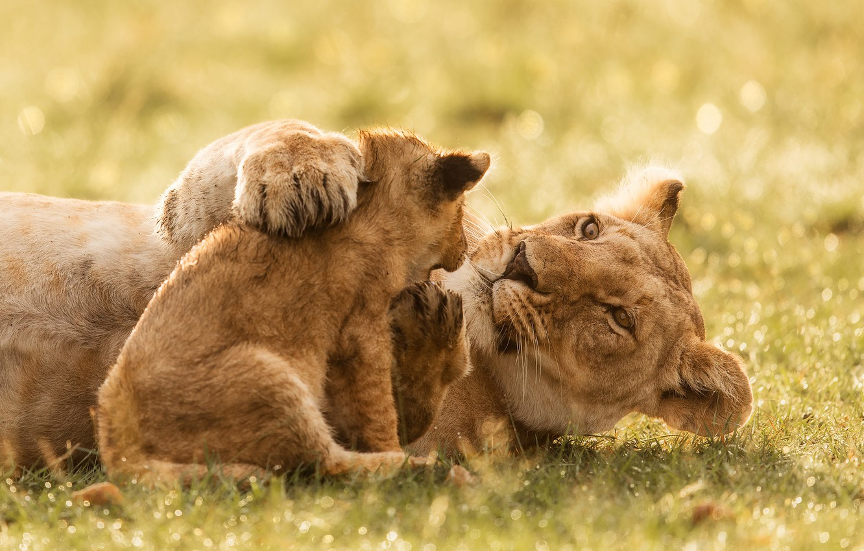 Photo wallpaper cub, wild cats, lions, lioness, lion, motherhood