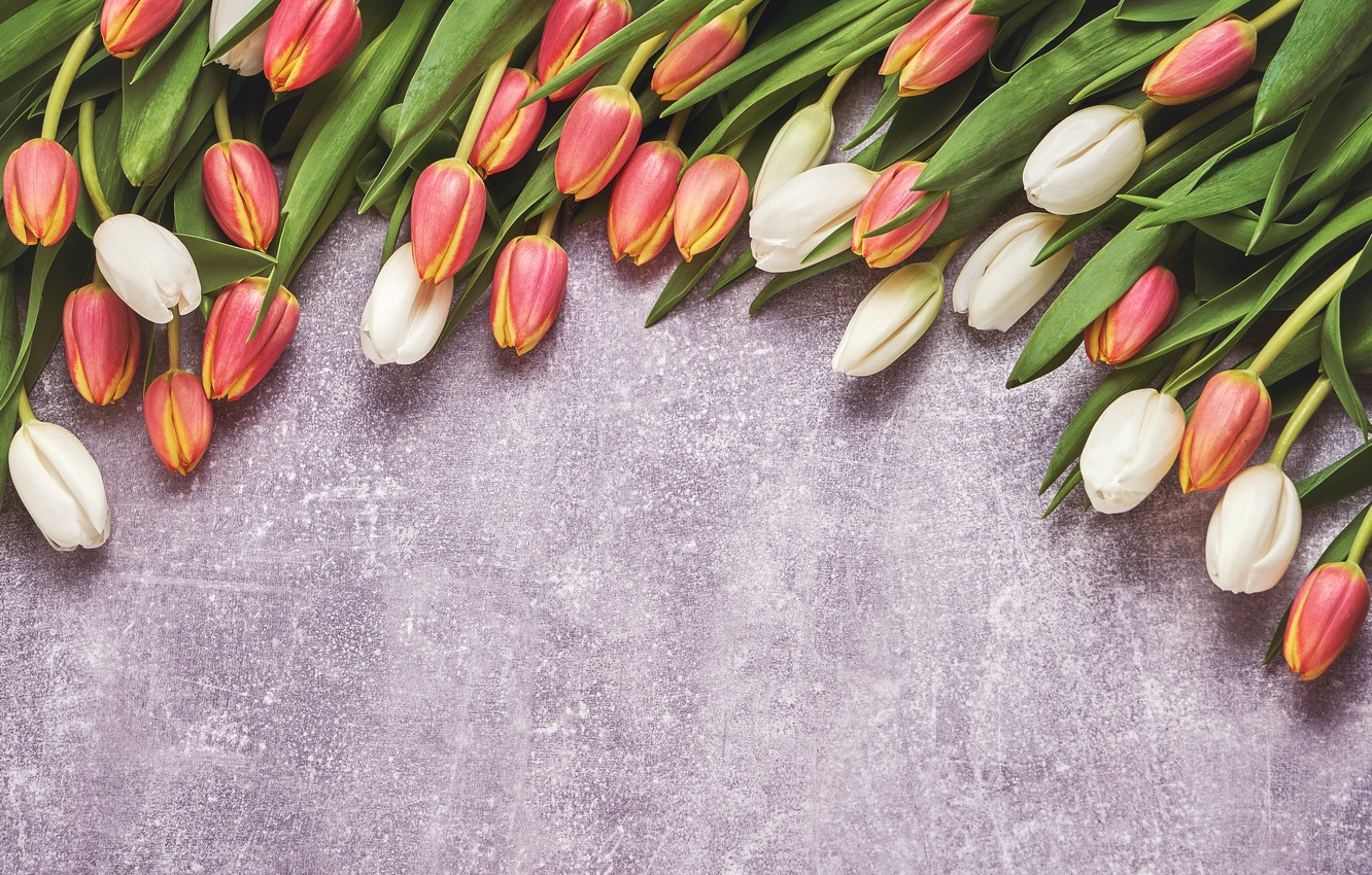 Photo wallpaper flowers, tulips, red, white, flowers, tulips