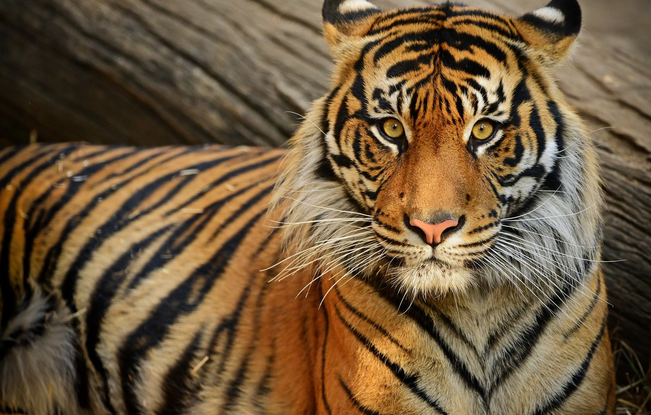 Photo wallpaper look, face, tiger, portrait, log