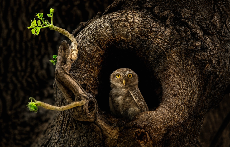 Photo wallpaper tree, owl, the hollow