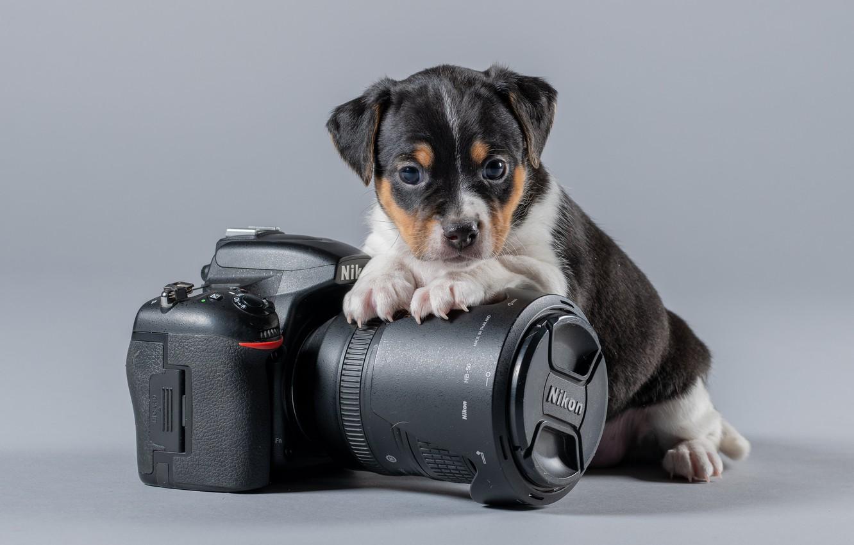 Photo wallpaper background, baby, the camera, Nikon, puppy, doggie, Danish-Swedish farmdog