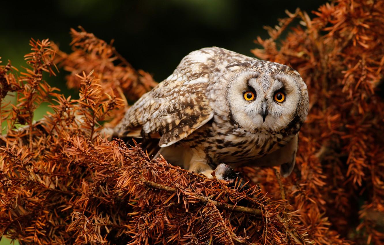 Photo wallpaper look, branches, pose, owl, bird, needles, owl