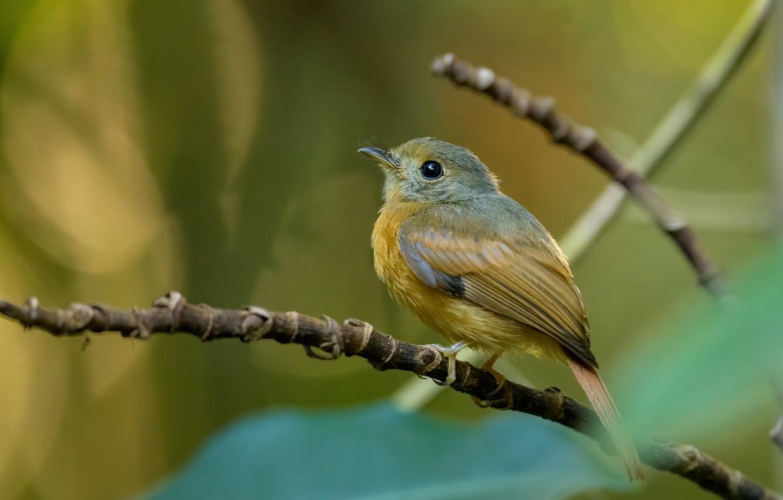 Photo wallpaper branches, nature, bird, Flycatcher