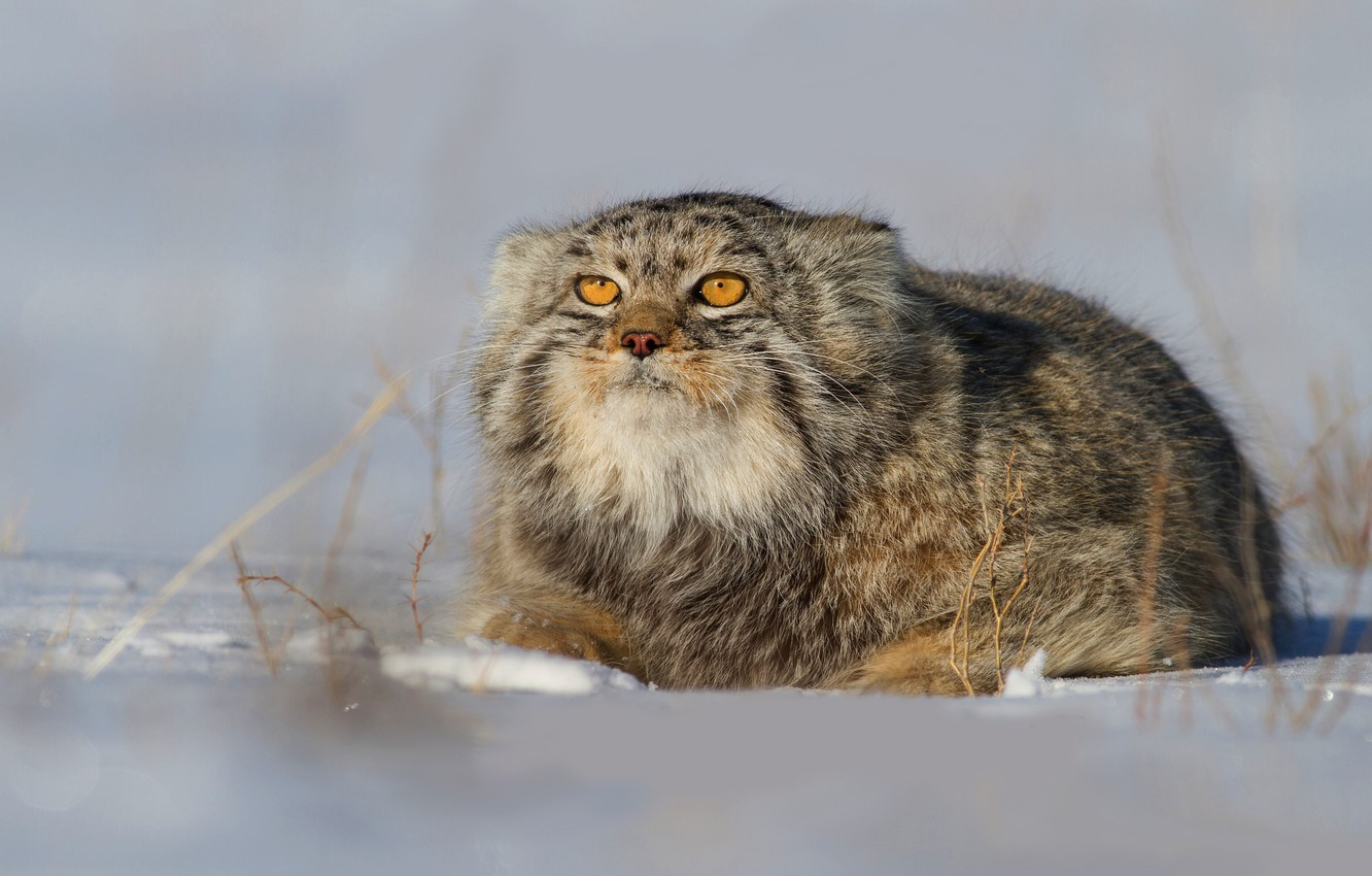 Photo wallpaper winter, cat, look, face, snow, nature, pose, background, wild cats, manul
