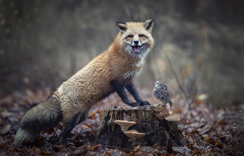 Photo wallpaper autumn, forest, nature, animal, owl, bird, foliage, mushrooms, stump, Fox, chick, Fox, owlet