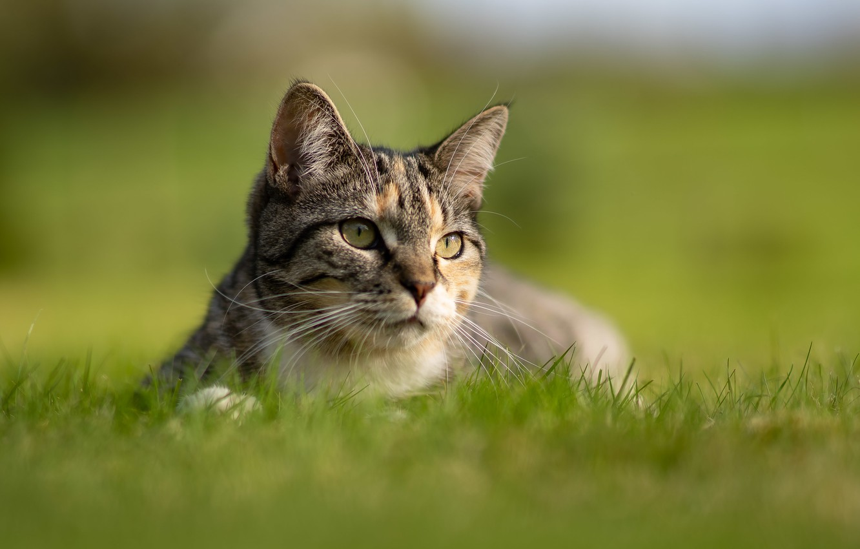 Photo wallpaper cat, grass, look, background, muzzle, bokeh, cat