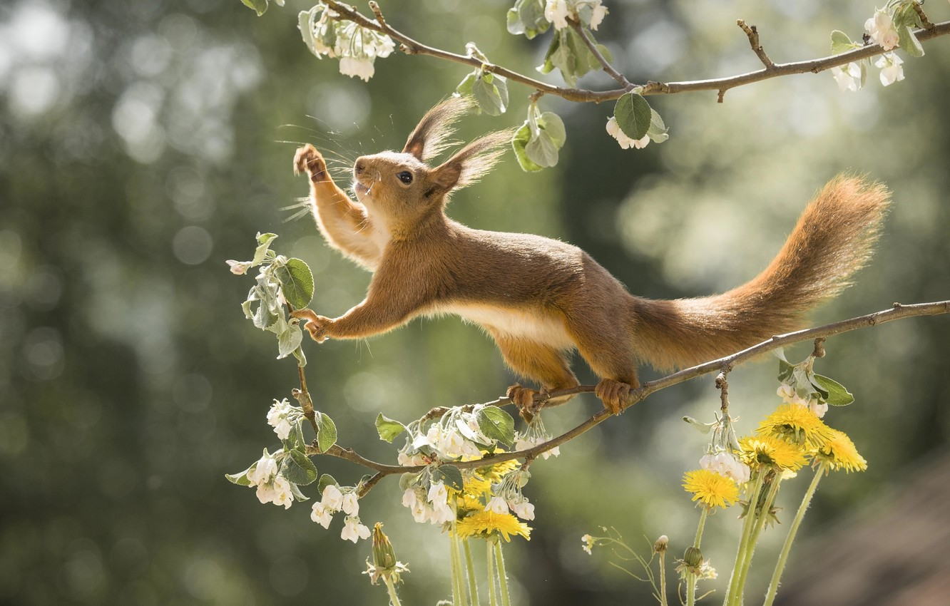 Photo wallpaper flowers, branches, nature, pose, animal, spring, protein, dandelions, flowering, bokeh, animal, rodent