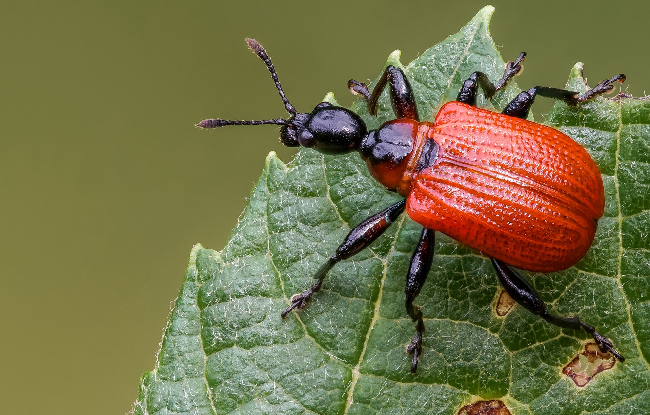 Photo wallpaper macro, red, green, background, leaf, beetle, insect, bug