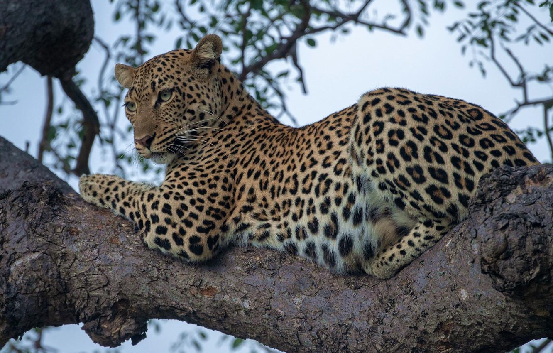 Photo wallpaper leopard, wild cat, on the tree