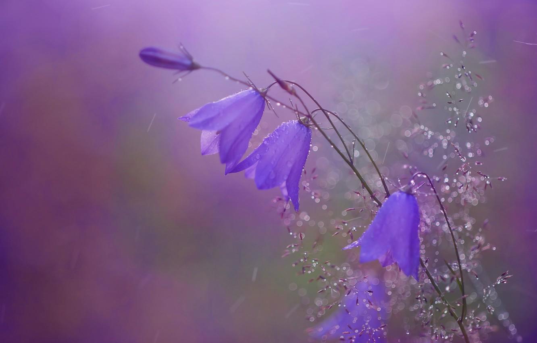 Photo wallpaper drops, macro, nature, background, rain, bells, a blade of grass