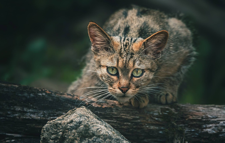 Photo wallpaper cat, look, face