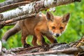 Picture branches, nature, green, background, tree, small, muzzle, Fox, red, bark, Fox, Fox, Fox, baby