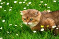 Picture cat, summer, grass, cat, look, face, flowers, glade, red, walk, lawn