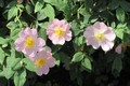 Picture Flowers, Bush, Briar, Meduzanol ©, Spring 2018