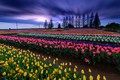 Picture field, the sky, clouds, trees, landscape, flowers, nature, spring, the evening, garden, mill, tulips, the ...