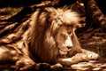 Picture light, nature, pose, tree, sleep, Leo, paws, Sepia, mane, sleeping, lies, shadows, Sunny, wild cat, ...