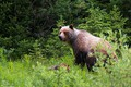 Picture forest, look, nature, pose, thickets, ate, bear, bear, walk, brown, bear
