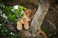 Picture wild cat, branches, lioness, bitches, bokeh, tree, face, nature, background, paws, look