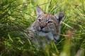 Picture greens, cat, summer, grass, eyes, look, face, stay, portrait, beauty, lies, lynx, face, green, wild ...
