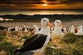Picture birds, beak, colony, Falkland Islands, black-browed albatrosses