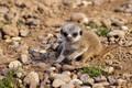Picture baby, cub, meerkat