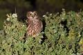 Picture greens, the sun, nature, owl, bird, the bushes, Australia, Victoria, James White, Cape Liptrap, Tasmanian ...