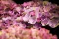 Picture Nature, Flower, hydrangea